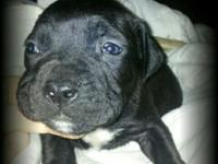 I have 2 stunning bully new puppies here for sale ready
