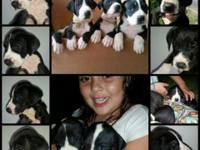 AKC Great Dane infants for sale. We reside in Arizona