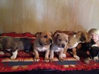we have 6 huge puppies 4 male 2 ladies ... they will be