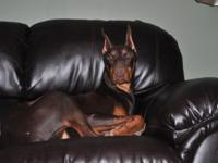 Wolfgang is a well mannered doberman, house trained and