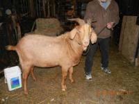 I have an amazing Kiko buck goat available for stud!