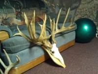 These are a huge set of replicated deer antler and