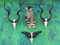 TRADING POST:: We have a great selection of Taxidermy