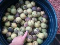 Huge walnuts for sale! Come pick out the walnuts you