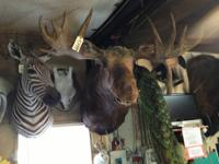 WE HAVE A GREAT SELECTION OF TAXIDERMY MOUNTS, OVER 400