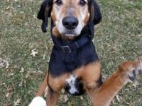 Hunter is a male, 7 year old Coonhound who currently