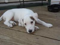 Hunter is a Handsome Smooth coat Jack Russell who has