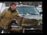 Now booking guided coyote hunts with our blue ticks!