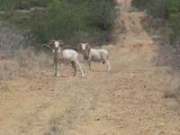 Texas Dall Sheep Hunt Discount Pricing -- for 2011
