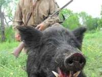 Texas Wild Hog Hunt -- on private ranch 6,000 acre