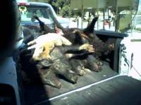 Texas Wild Hog Hunts $490 per person 4 to 8 hunters per