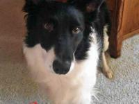 Husker, the 3 1/2 year old pure breed Border Collie, is