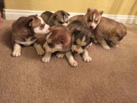 I have 3 male, 3 female puppy huskies. They are young,