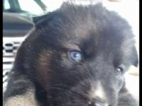 I have dogs for sale is huskies mix German Shepherd 3