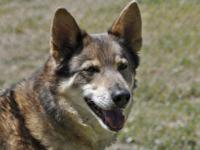 Husky - Alex - Large - Adult - Female - Dog Alex is a