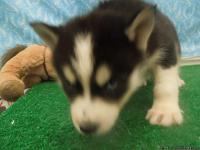 Husky puppies are available in red and white, and grey