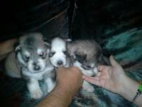 I have 3 boy huskys born on May 17 and will be ready
