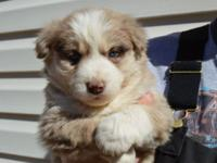 I have a little of super cute half Siberian husky half