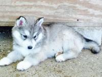 Very beautiful husky puppies available. They were born
