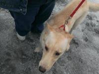 Husky - Belle - Large - Young - Female - Dog Belle is