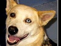 Husky - Chance - Large - Young - Male - Dog ADOPTION