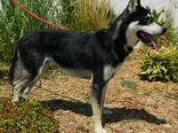 Husky - Crystal - Medium - Young - Female - Dog All
