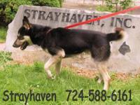Husky - Dakota - Large - Young - Male - Dog Dakota came