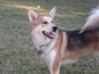 Husky - Dani - Large - Adult - Female - Dog Dani has a