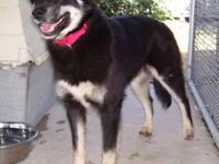 Husky - Denver - Large - Young - Male - Dog Denver was