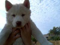 brief reason for giving away my white cute young husky,