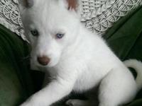 Have an husky puppy for new home. She is utd in shots