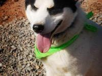 Husky - Happy Go Lucky - Medium - Young - Male - Dog