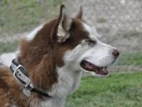 Husky - Jaow - Large - Adult - Male - Dog Jaow is a