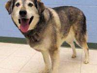 Husky - Mingo - Large - Senior - Male - Dog For