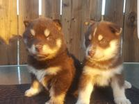 Husky Puppies 1- Male and 1-Female dewormed and 1st