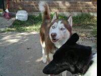 Two female husky puppies. They are both white and have