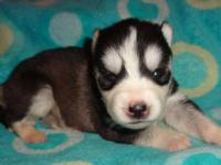 Hi I will be having a litter of ckc husky puppies this