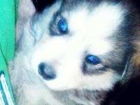 Husky puppies all males. Ready for new home once 8
