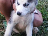 I have two males husky puppies they are 11 weeks old