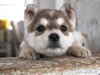 Outstanding quality Siberians Huskies. Good ears and