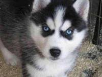 Husky puppies - All will have BLUE EYES. all will be
