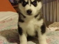 6 weeks old and will be ready Jan 30 2015 male Husky