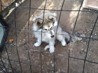 Selling my 17 weeks husky puppy. I'm moving out so I