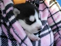 Male Husky ... Currently 1 week old. Ready for a home