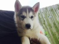 Female husky puppy born February 15. Only 1 left she is