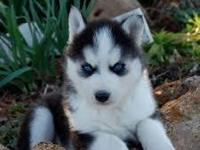 husky puppy Ready Now black/white blue eyes s/w free