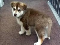 CUTE husky puppy for sale $300 each. - Chuck  =