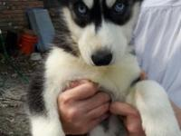 HUSKY PUPPY SALE THIS WEEKEND !! BLUE EYES & READY TO