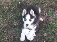 HUSKY PUPPYS, BLUE EYES, BLACK & WHITES & SILVERS SHOTS
