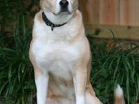 Husky - Sasha - Large - Adult - Female - Dog Energetic,
